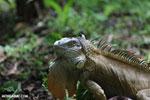 Green iguana climbing a tree [costa_rica_la_selva_1248]