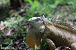 Green iguana climbing a tree [costa_rica_la_selva_1249]