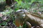 Green iguana climbing a tree [costa_rica_la_selva_1250]