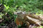 Green iguana climbing a tree [costa_rica_la_selva_1252]