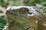 Green iguana climbing a tree [costa_rica_la_selva_1253]