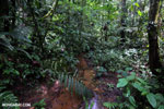 Rainforest creeks [costa_rica_la_selva_1270]