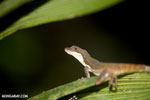 Slender Anole (Norops limifrons)