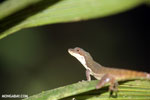 Slender Anole (Norops limifrons) [costa_rica_la_selva_1274]