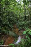 Rainforest creeks [costa_rica_la_selva_1284]