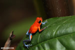 Strawberry poison-dart frog (Oophaga pumilio) [costa_rica_la_selva_1290]
