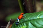 Strawberry poison-dart frog (Oophaga pumilio) [costa_rica_la_selva_1293]