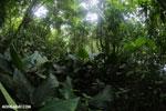Rainforest vegetation in Costa Rica [costa_rica_la_selva_1300]