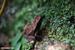 Rhaebo haematiticus frog [costa_rica_la_selva_1305]