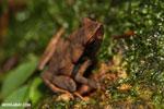Rhaebo haematiticus frog