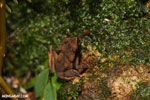 Rhaebo haematiticus frog [costa_rica_la_selva_1308]