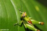 Grasshopper [costa_rica_la_selva_1314]