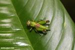 Grasshopper [costa_rica_la_selva_1319]
