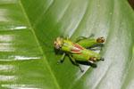 Grasshopper [costa_rica_la_selva_1320]