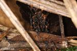 Army ants building an ant bridge