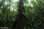Central American rainforest [costa_rica_la_selva_1338]