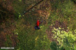 Strawberry poison-dart frog (Oophaga pumilio) [costa_rica_la_selva_1348]