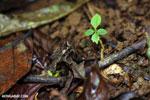 Frog [costa_rica_la_selva_1351]