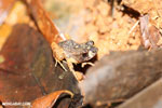 Craugastor bransfordii frog [costa_rica_la_selva_1364]