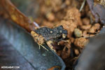 Craugastor bransfordii frog [costa_rica_la_selva_1367]