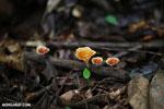 Fungi [costa_rica_la_selva_1369]
