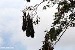Oropendula nests [costa_rica_la_selva_1371]