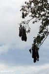 Oropendula nests [costa_rica_la_selva_1380]
