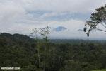Oropendula nests [costa_rica_la_selva_1388]