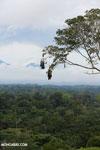 Oropendula nests [costa_rica_la_selva_1391]