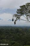 Oropendula nests [costa_rica_la_selva_1392]