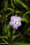 Purple flower [costa_rica_la_selva_1410]