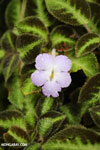 Purple flower [costa_rica_la_selva_1411]