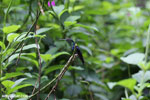 Hummingbirds [costa_rica_la_selva_1418]