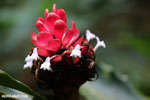 Ginger flower [costa_rica_la_selva_1420]