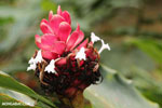 Ginger flower [costa_rica_la_selva_1421]