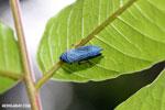 Blue leafhopper [costa_rica_la_selva_1424]