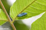Blue leafhopper [costa_rica_la_selva_1430]