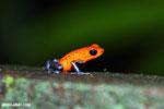 Strawberry poison-dart frog (Oophaga pumilio) [costa_rica_la_selva_1434]