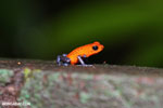 Strawberry poison-dart frog (Oophaga pumilio) [costa_rica_la_selva_1436]