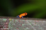 Strawberry poison-dart frog (Oophaga pumilio) [costa_rica_la_selva_1437]
