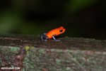Strawberry poison-dart frog (Oophaga pumilio) [costa_rica_la_selva_1438]
