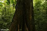 Rainforest tree [costa_rica_la_selva_1446]