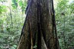 Rainforest tree [costa_rica_la_selva_1447]