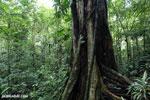 Rainforest tree [costa_rica_la_selva_1448]
