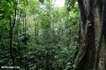 Rainforest tree [costa_rica_la_selva_1449]