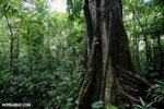 Rainforest tree [costa_rica_la_selva_1454]