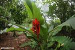 Heliconia [costa_rica_la_selva_1464]