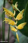 Yellow heliconia [costa_rica_la_selva_1472]