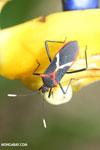 Assassin bug [costa_rica_la_selva_1475]