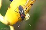 Assassin bug [costa_rica_la_selva_1476]